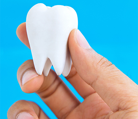 Model Of a Tooth